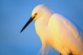 Portrait of snowy egret egretta thula against blue sky at sunset Royalty Free Stock Photography