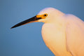 Portrait of snowy egret egretta thula against blue sky at sunset Royalty Free Stock Photo