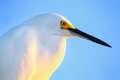 Portrait of snowy egret egretta thula against blue sky at sunset Stock Photography