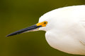 Portrait of snowy egret egretta thula against dark background Stock Image
