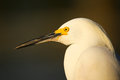 Portrait of snowy egret egretta thula against dark background Royalty Free Stock Photography