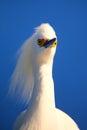 Portrait of snowy egret x egretta thula x against blue sky Royalty Free Stock Image