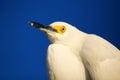 Portrait of snowy egret x egretta thula x against blue sky Royalty Free Stock Photo