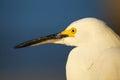 Portrait of snowy egret x egretta thula x against blue sky Stock Photo