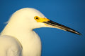 Portrait of snowy egret x egretta thula x against blue sky Stock Images