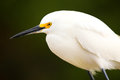 Portrait of snowy egret x egretta thula x against dark background Stock Photos