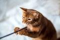 Portrait of a Somali cat Royalty Free Stock Photo