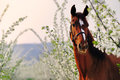 Portrait of sorrel horse in blossoming spring garden Royalty Free Stock Photo