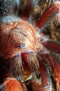 Portrait of spider tarantula macro beautiful mexican pink Stock Photography