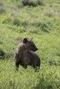 Portrait sported hyaena, Ngorongoro Crater, Tanzania Royalty Free Stock Photo