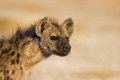 Portrait of Spotted Hyena Stock Photography