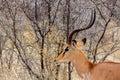 Portrait of Springbok Antidorcas marsupialis Royalty Free Stock Photo