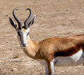 Portrait of Springbok Antidorcas marsupialis Royalty Free Stock Photo
