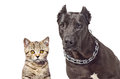 Portrait of a staffordshire terrier and kitten scottish straight isolated on white background Royalty Free Stock Photo