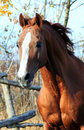 Portrait stallion Royalty Free Stock Photos