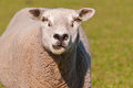Portrait of a staring sheep in sunlight Stock Images