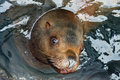 Portrait steller sea lion eumetopias jubatus floats in water avacha bay kamchatka peninsula russia Stock Images