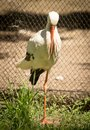 Portrait of a stork at the zoo Royalty Free Stock Photo