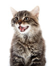 Portrait of a striped fluffy mewing cat kitten not purebred kitten kitten on white background small predator small Royalty Free Stock Photo