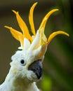 Portrait of Sulphur Crested Cockatoo