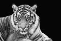 Portrait of sumatran tiger in black and white Royalty Free Stock Photo