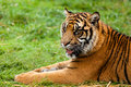 Portrait of Sumatran Tiger Lying Down Stock Images