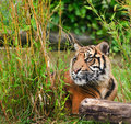 Portrait of Sumatran Tiger Panthera Tigris Royalty Free Stock Photo