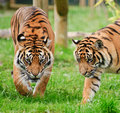 Portrait of Sumatran Tiger Panthera Tigris Royalty Free Stock Photos