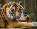 Portrait of sumatran tiger panthera tirgris sumatrae Royalty Free Stock Photography
