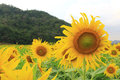 Portrait of a sunflower in the field Royalty Free Stock Photography