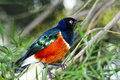Portrait superb starling perched branch Royalty Free Stock Photos