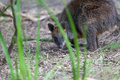 Portrait of a swamp wallaby native australian marsupial phillip island victoria australia Royalty Free Stock Photo