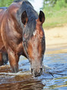 Portrait of swimming bay horse Royalty Free Stock Image