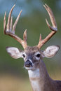 Portrait of tall typical whitetail buck Royalty Free Stock Photo
