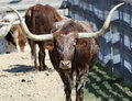 A Portrait of a Texas Longhorn Steer Royalty Free Stock Photo