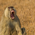 Portrait of a threatening Yellow Baboon Royalty Free Stock Photo