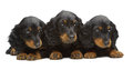 Portrait of three puppies of Dachshund Stock Photography