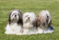 Portrait of three purebred Lhasa Apso Stock Image
