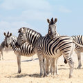 Portrait of three zebras Royalty Free Stock Photos