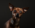 Portrait of a toy terrier studio shot Stock Images