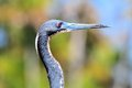 Portrait of tricolored heron bird Royalty Free Stock Photo