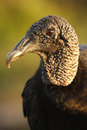 Portrait of Turkey Vulture Royalty Free Stock Image