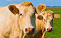 Portrait of two light brown cows in a Dutch meadow Royalty Free Stock Photo