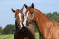 Portrait of two nice arabian horses potrait chestnut with beautiful show halter Stock Images
