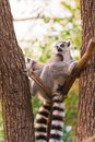 Portrait of two ring-tailed lemur lemur catta on tree branches Royalty Free Stock Photo