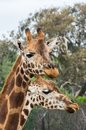 Portrait of two Rothschilds giraffes Royalty Free Stock Photo