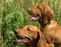 Portrait Of Two Vizsla Dogs Royalty Free Stock Photos