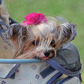 Portrait of a Very Cute Yorkie Royalty Free Stock Photo