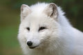 Portrait view arctic fox vulpes lagopus close up Stock Photos