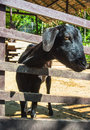 Portrait view of black goat face in wood stall on natural Stock Images